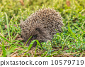 刺猬 动物 自然 10579719