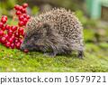 刺猬 动物 自然 10579721
