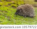 刺猬 动物 宠物 10579722