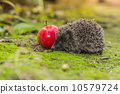 Wild Hedgehog is looking for a food 10579724