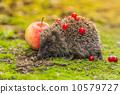 刺猬 动物 自然 10579727