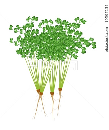 Fresh Green Coriander on A White Background 10597153