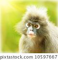 closeup, monkey, dusky 10597667
