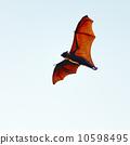 狐狸 水果 動物 10598495