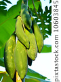 Papaya on the papaya tree 10603845