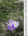 crocus, spring, purple 10618396
