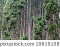 Kitayama cedar 10619108
