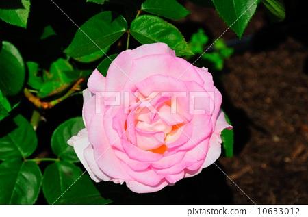 玫瑰粉紅色的承諾 10633012