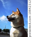 dog dogs Shiba 10642312