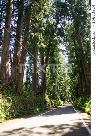 Nikko cedar tree 10653824