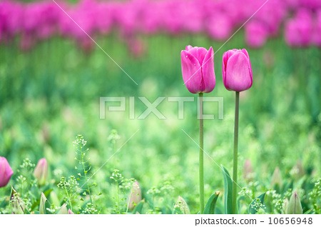 Tulips in the garden 10656948