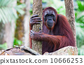 Borean Orangutan 10666253