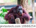 Borean Orangutan 10666254