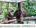 Borean Orangutan 10666255