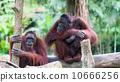 Borean Orangutan 10666256