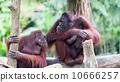 Borean Orangutan 10666257