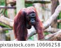 Borean Orangutan 10666258