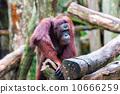 Borean Orangutan 10666259