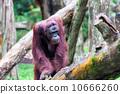 Borean Orangutan 10666260