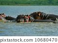 mammal hippopotamus zoology 10680470
