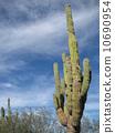 ต้นกระบองเพชรที่เม็กซิโก 10690954