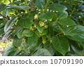 柿子花 10709190