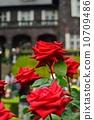 玫瑰园 玫瑰 玫瑰花 10709486
