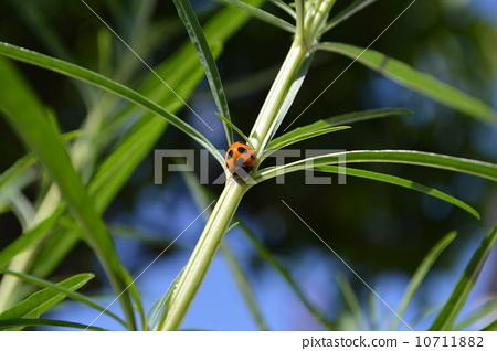Ladybird 10711882