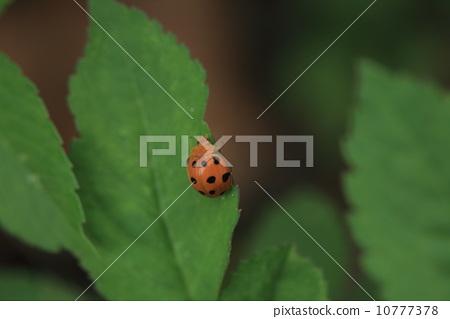 생물 곤충 지글 라 점박이 무당, 무당 벌레인데 초식 ...,에서 해충되어 버렸습니다 ② 10777378
