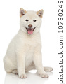 柴犬 快乐 幸福 10780245