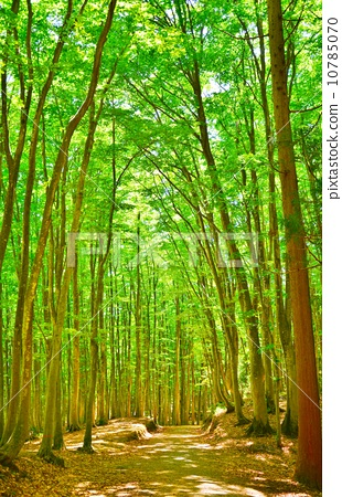 Fresh green Matsunoyama Bee beautiful forest forest 10785070