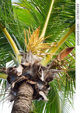 Close Up a Bunch of Green Coconut Tree. 10786549