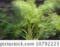 fennel, Foeniculum, vulgare 10792223