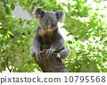 koala, koala bear, popular person 10795568