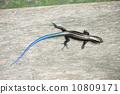 蜥蜴 幼虫 蝾螈 10809171