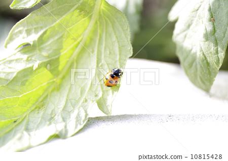 Ladybug that eats aphids 10815428
