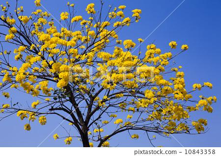 Golden Trumpet-tree 10843358