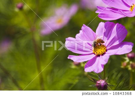 蜜蜂採蜜 10843368