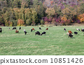 Cows grazing in green meadow 10851426