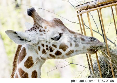 Rothschild's giraffe eats dried hay 10870180