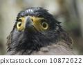 อินทรี,ดวงตา,หัว 10872622