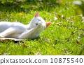 ขนของแมวขาว 10875540
