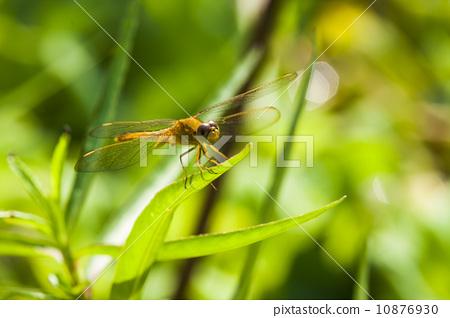 歇息的蜻蜓 10876930