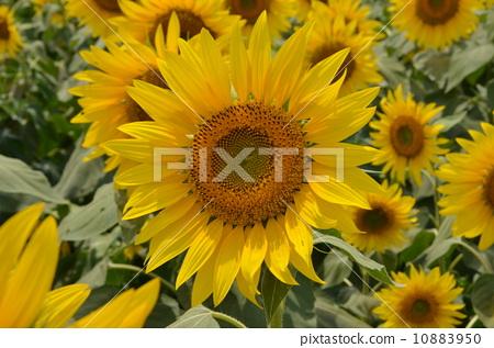 充滿向日葵的微笑 10883950