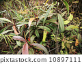 카즈 라 식충 식물 10897111