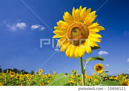 盛開的向日葵 10898121