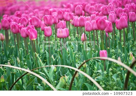 tulip 10907323