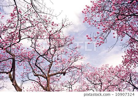 辛夷花树 10907324