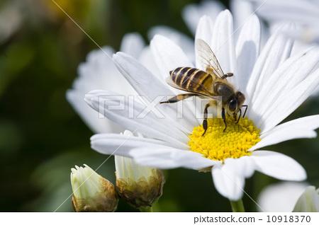 蜜蜂採蜜 10918370