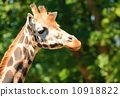 neck, giraffe, animal 10918822